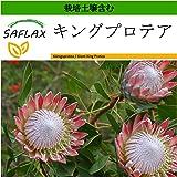 SAFLAX - キングプロテア - 5 個の種。- より良い栽培のための土壌を含みます - Protea cynaroides