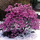 Amazon.de Pflanzenservice Vorfrühlingsalpenrose, Rhododendron praecox, violett-blau blühend, 1 Strauch, 3-4 triebig, 20 - 40 cm hoch, 3 Liter Container