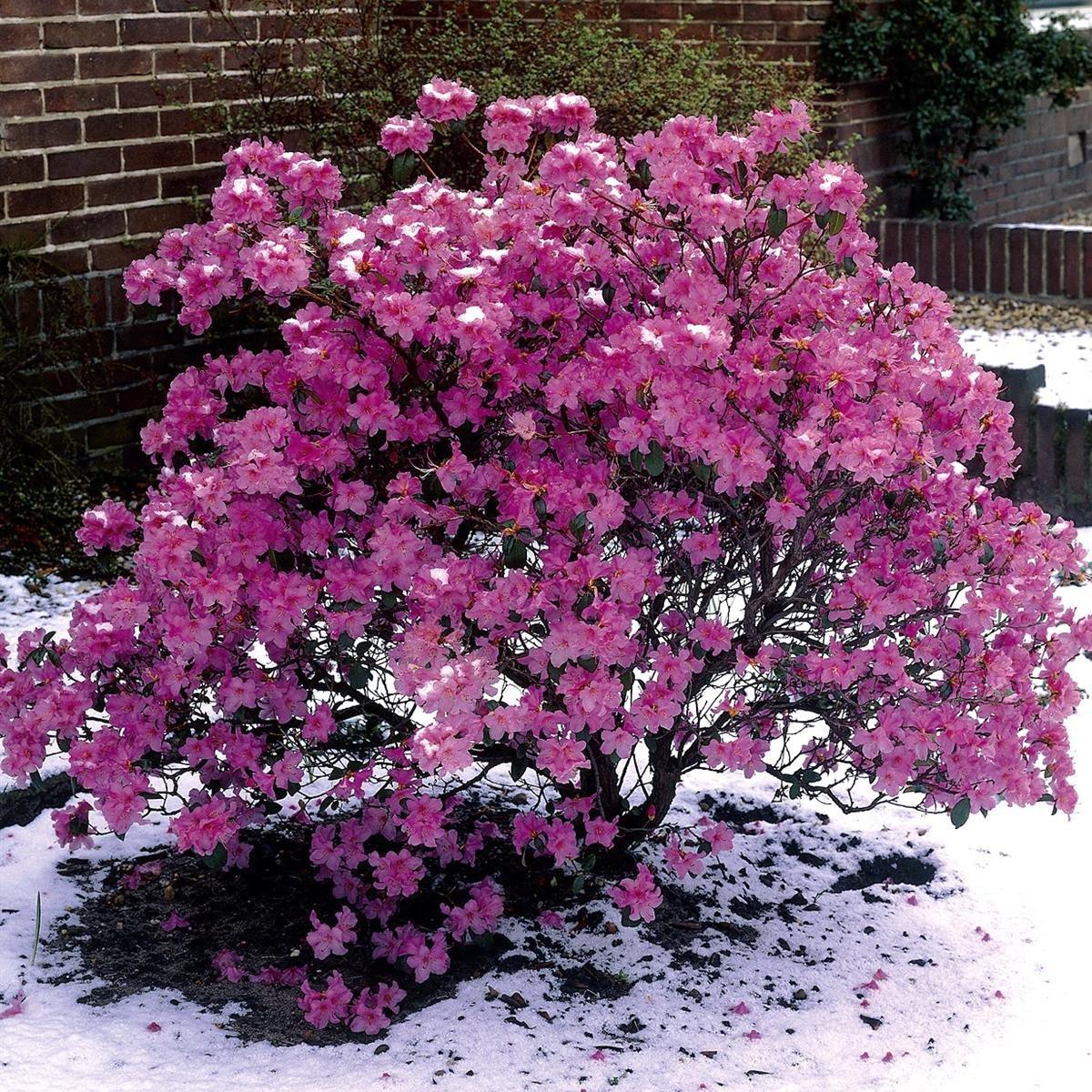 Vorfrühlingsalpenrose violett blau blühend 1 Strauch im 3 Liter