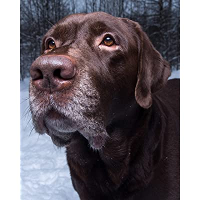 "CVPuzzles Chocolate Lab Retriever in The Snow 504 Piece Jigsaw Puzzle 16"" X 20"": Toys & Games"