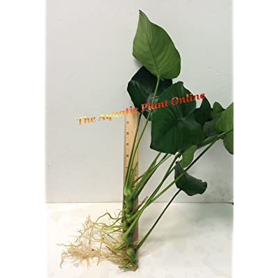 Anubias barteri 'broad leaf' (XL) Loose Plant L225 - Live Aquatic plant : Garden & Outdoor