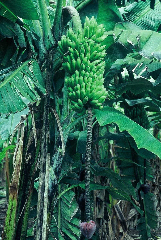 Amazon Com 1 Live Plant Goldfinger Dwarf Banana Tree Rare Desert