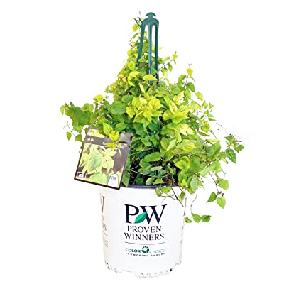 Proven Winners - Humulus Summer Shandy (Hops) Edible-Vine, ornamental, #2 - Size Container : Garden & Outdoor