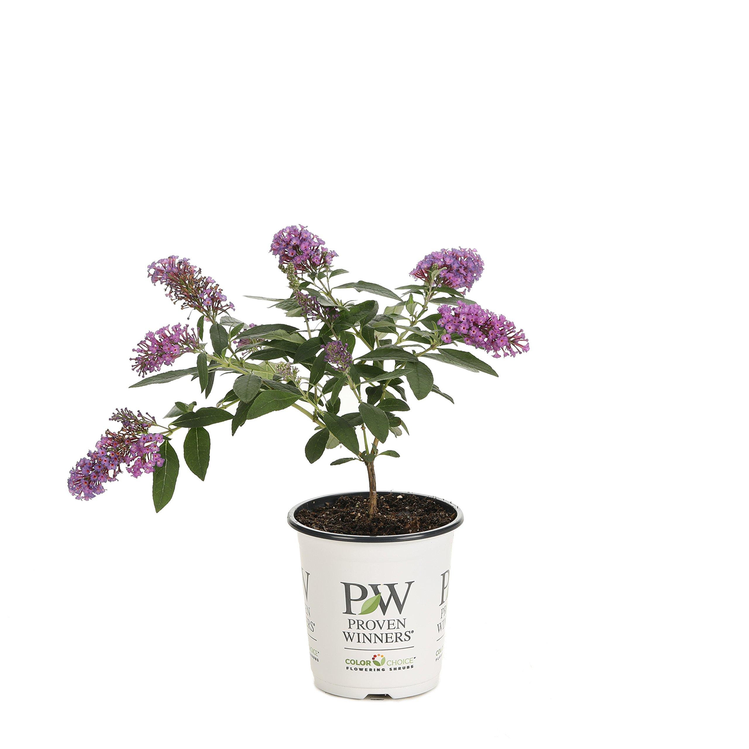 Pugster Periwinkle Butterfly Bush (Buddleia) Live Shrub, Purple Flowers, 4.5 in. Quart