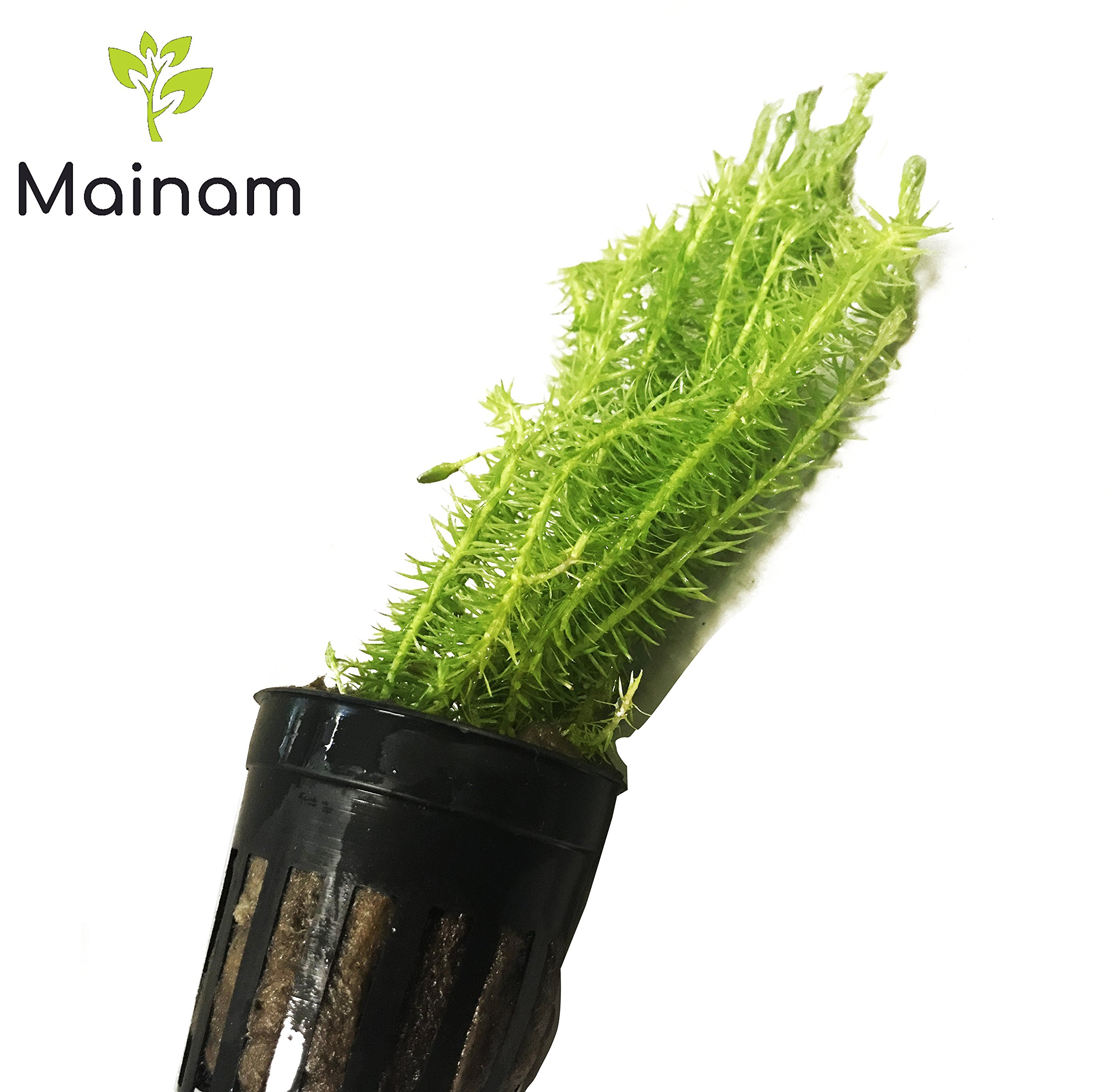 Mainam Stream Bogmoss Mayaca Fluviatilis Potted Stems Freshwater Easy Live Aquarium Plant Decorations Natural Aquascape by Mainam