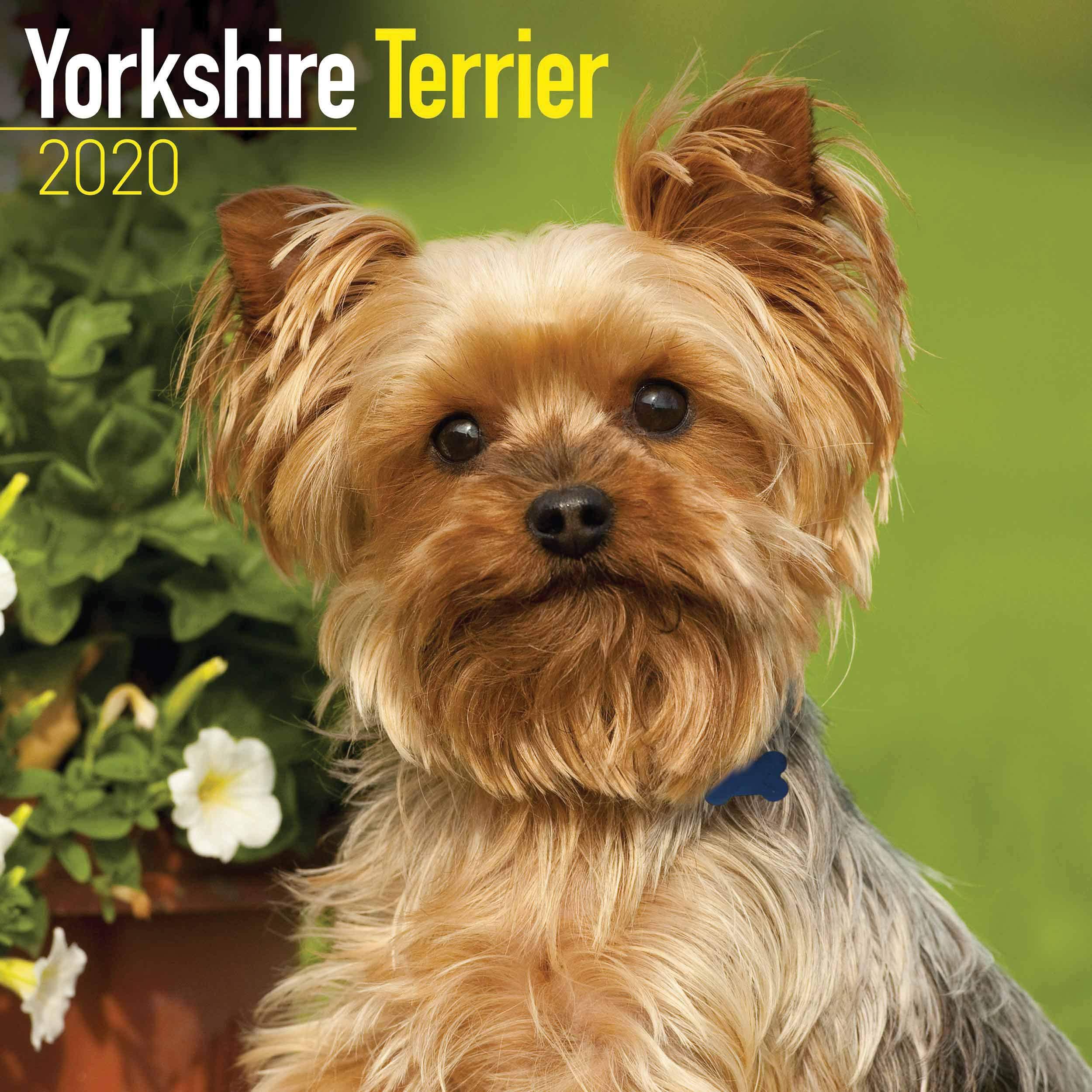 Yorkshire Terrier Calendar 2020 Amazon Co Uk Avonside Publishing Ltd Books