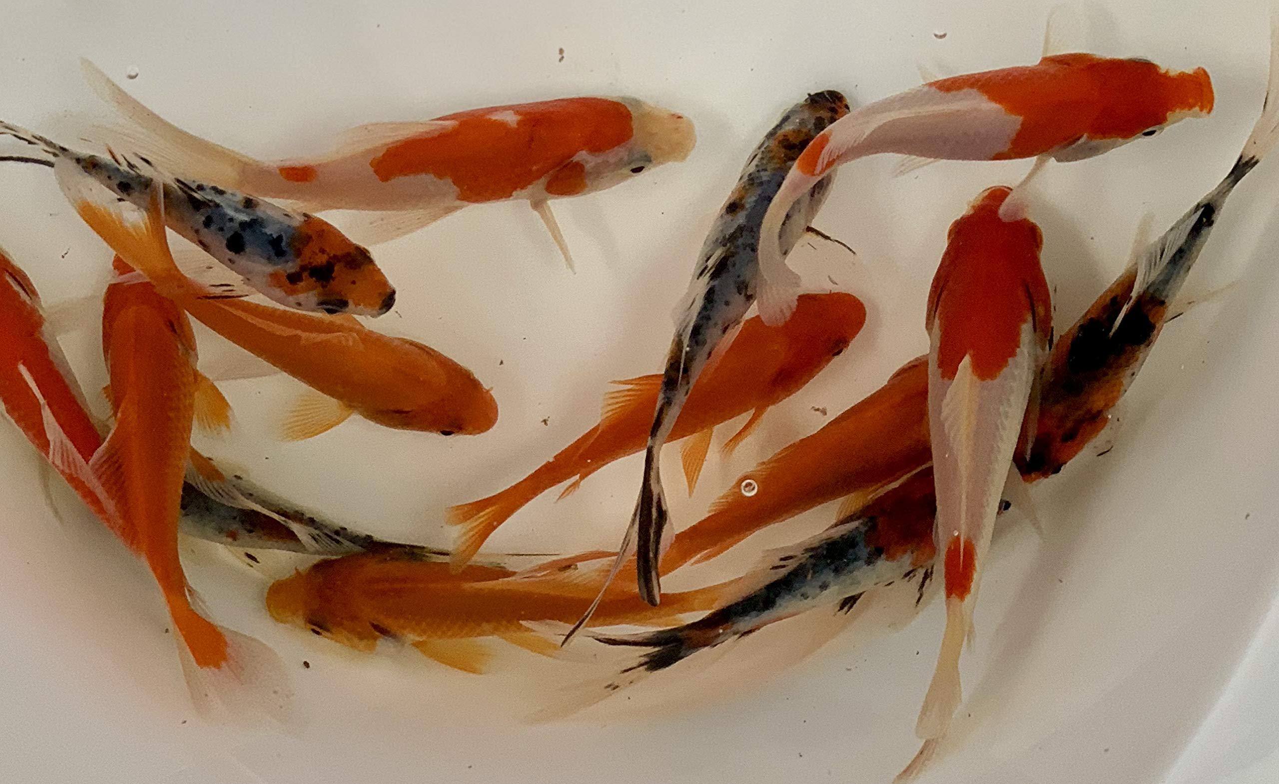 Toledo Goldfish Live Shubunkins, Sarasas & Common Mixture for Pond and Aquariums (3-4'', 24 Fish (8 of Each))