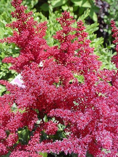 Amazon astilbe japonica montgomery false spirea perennial astilbe japonica montgomery false spirea perennial red flowers 2 mightylinksfo