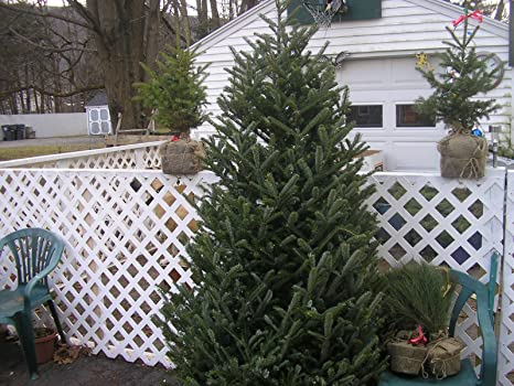 Plantable Christmas Tree.Amazon Com 200 Fraser Fir Seed Christmas Tree