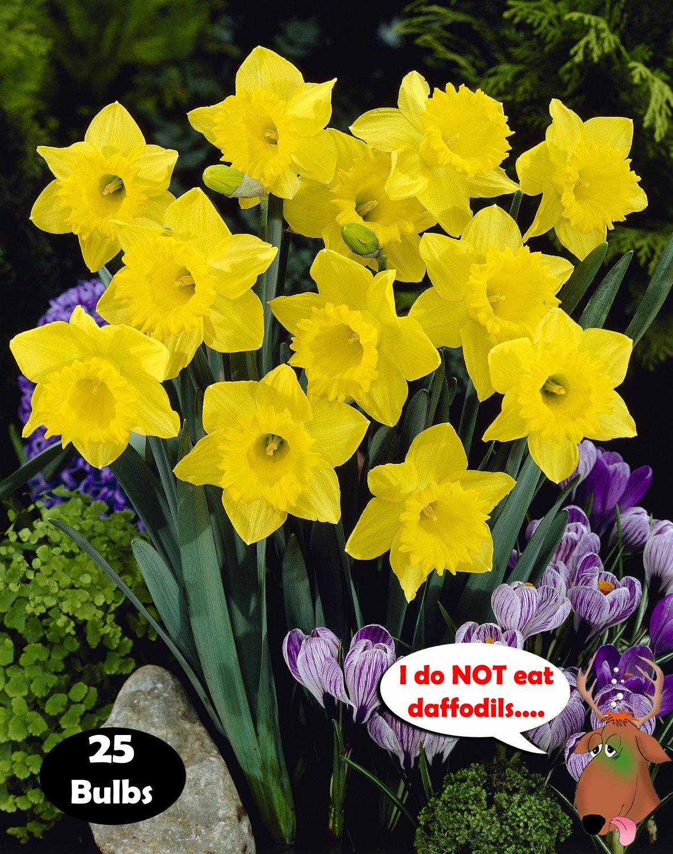 Dutch Master Daffodils (25 Bulbs) - Yellow Daffodil Narcissus Bulbs by Willard & May