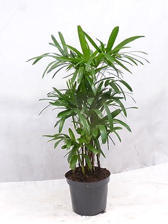 Zimmerpflanzen Dunkel palmenlager rhapis excelsa steckenpalme 120 140 cm
