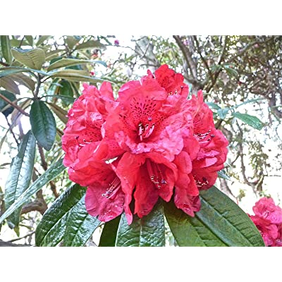 Rhododendron arboreum RHODODENDRON Seeds! : Garden & Outdoor