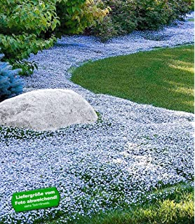 Baldur-garten Winterharter Bodendecker Vinca Minor 'blau ... Bodendecker Vinca Minor Garten