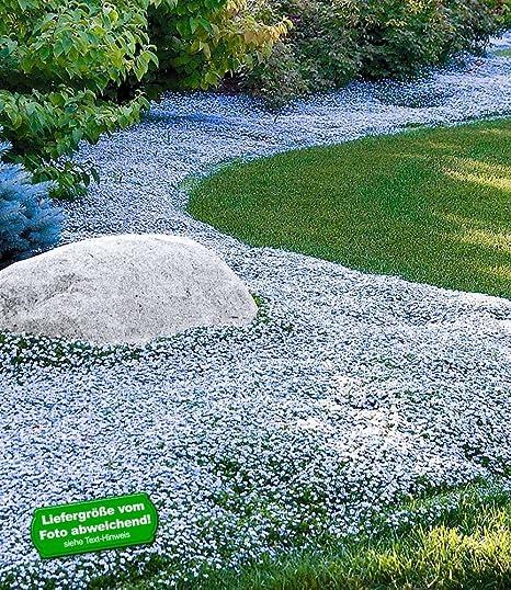 Baldur Garten Winterharter Bodendecker Isotoma Blue Foot Blauer