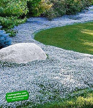 BALDUR Garten Winterharter Bodendecker Isotoma U0027Blue Footu0027 Blauer Bubikopf  Gaudich Rasen Ersatz