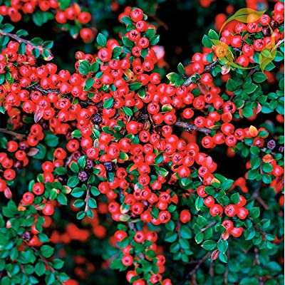 Tricastarts - Shiny COTONEASTER Cotoneaster Lucidus - 10+ Seeds : Garden & Outdoor