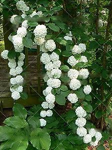 100pcs/bag Climbing Hydrangea Seeds Hydrangea Flowers Seed Bonsai Plant Viburnum Home Garden