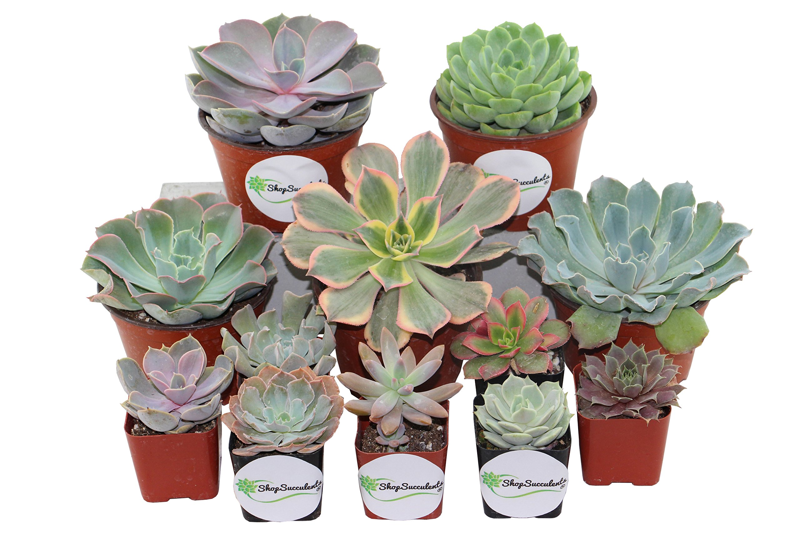 Shop Succulents Rosette Succulents 2'' and 4'' Wedding Combo Pack (72, 64x2'' plants 8x4'' plants)