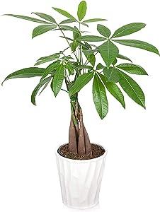 Just Add Ice JAI266 Money Tree, White Pot