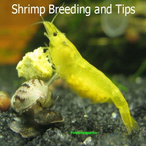 Shrimp Breeding and Tips for sale  Delivered anywhere in Canada