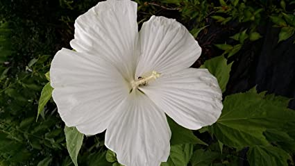 Amazoncom 2 Gallon Pot Blue River Hardy Hibiscus Big White