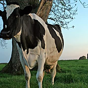 Amazoncom Dairy Milk Cow Wallpaper Hd Wallpapers Of Dairy Milk