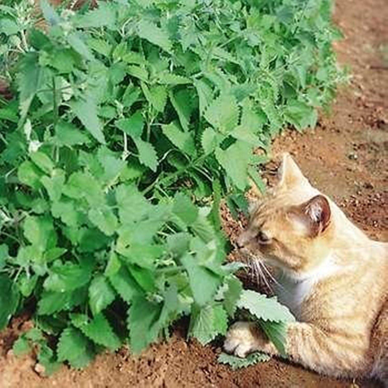 Catmint, hierba gatera, Catswort Semillas (Nepeta Catari) cultivados orgánicamente rusa hierba: Amazon.es: Jardín