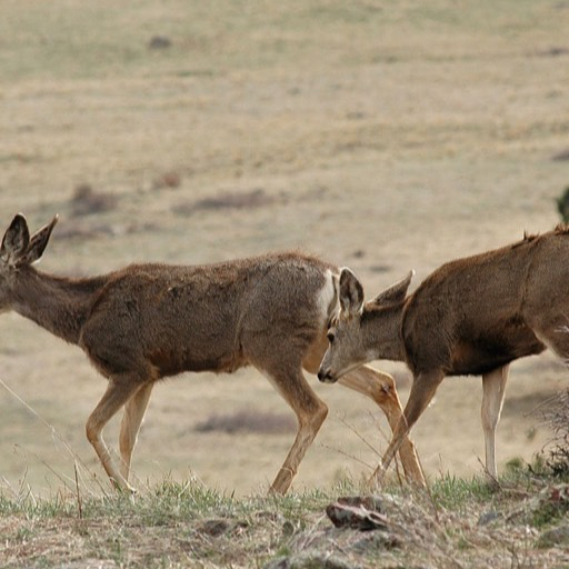 Mule deer wallpaper hd wallpapers of mule deer appstore for android - Hunting wallpaper for android ...