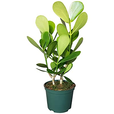 Autograph Plant in 6 inch Grower Pot - Similar to Philodendron : Garden & Outdoor