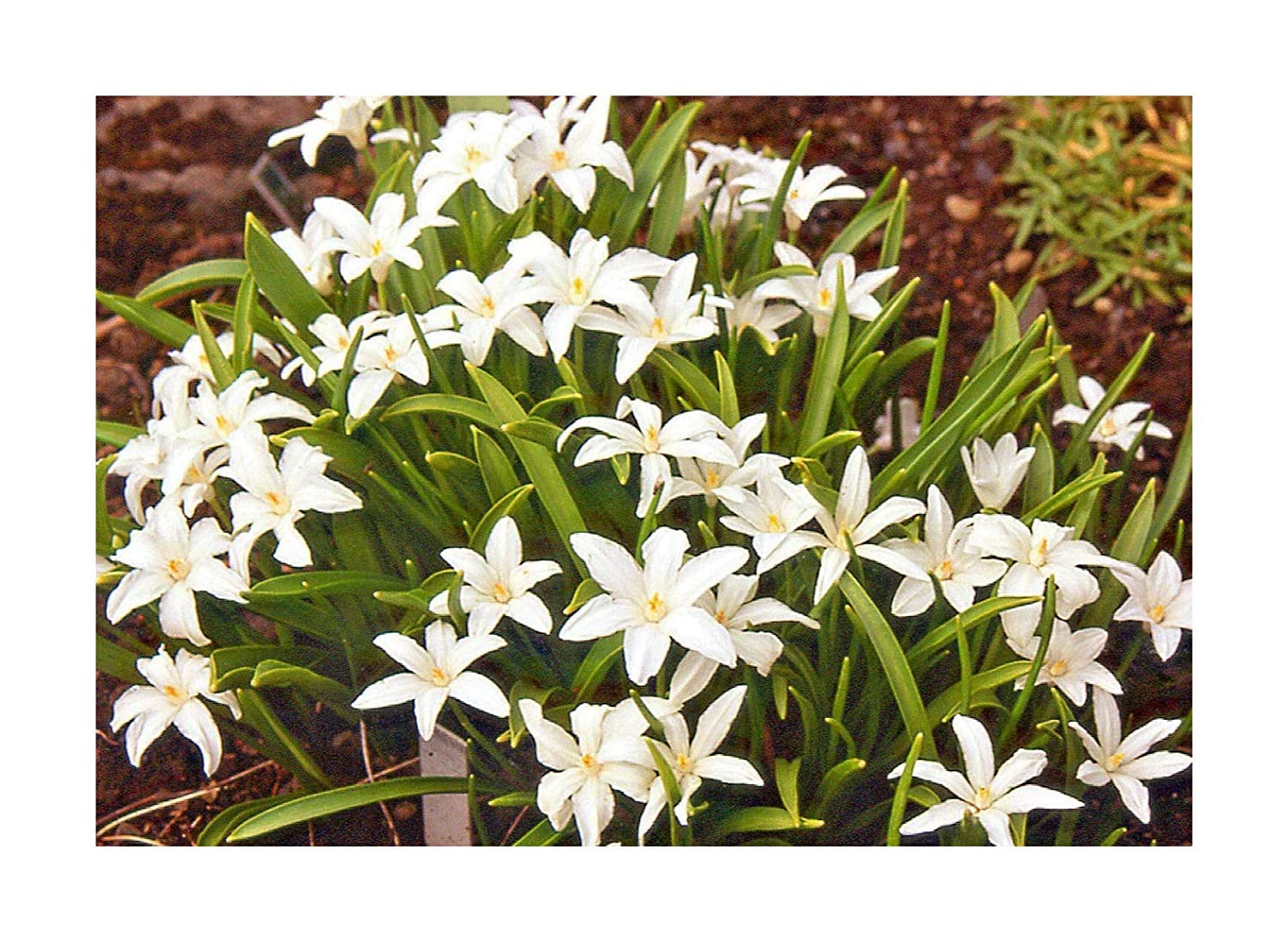 50 x Chionodoxa 'Alba' White Glory of The Snow Spring Flowering Bulbs by Plug Plants Express Limited