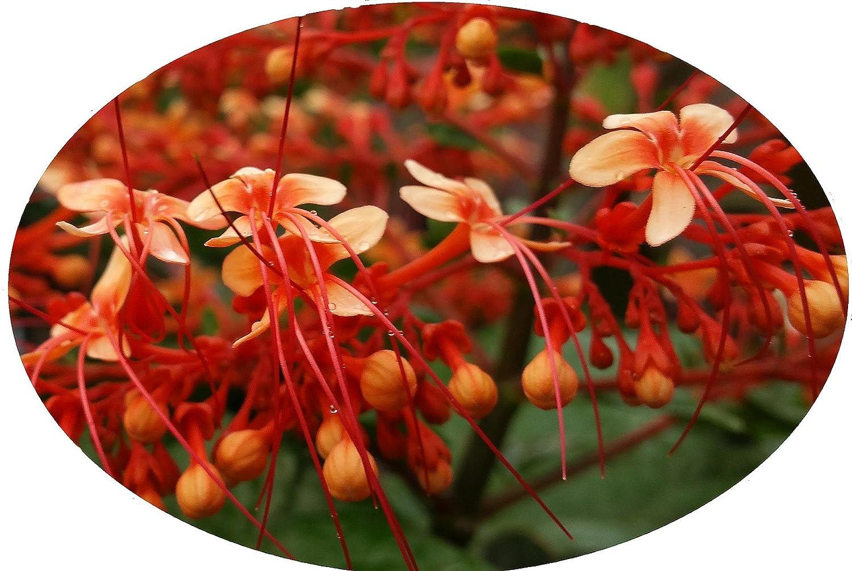 Amazon Starshine Orange Pagoda Flower Semi Tropical Live Plant