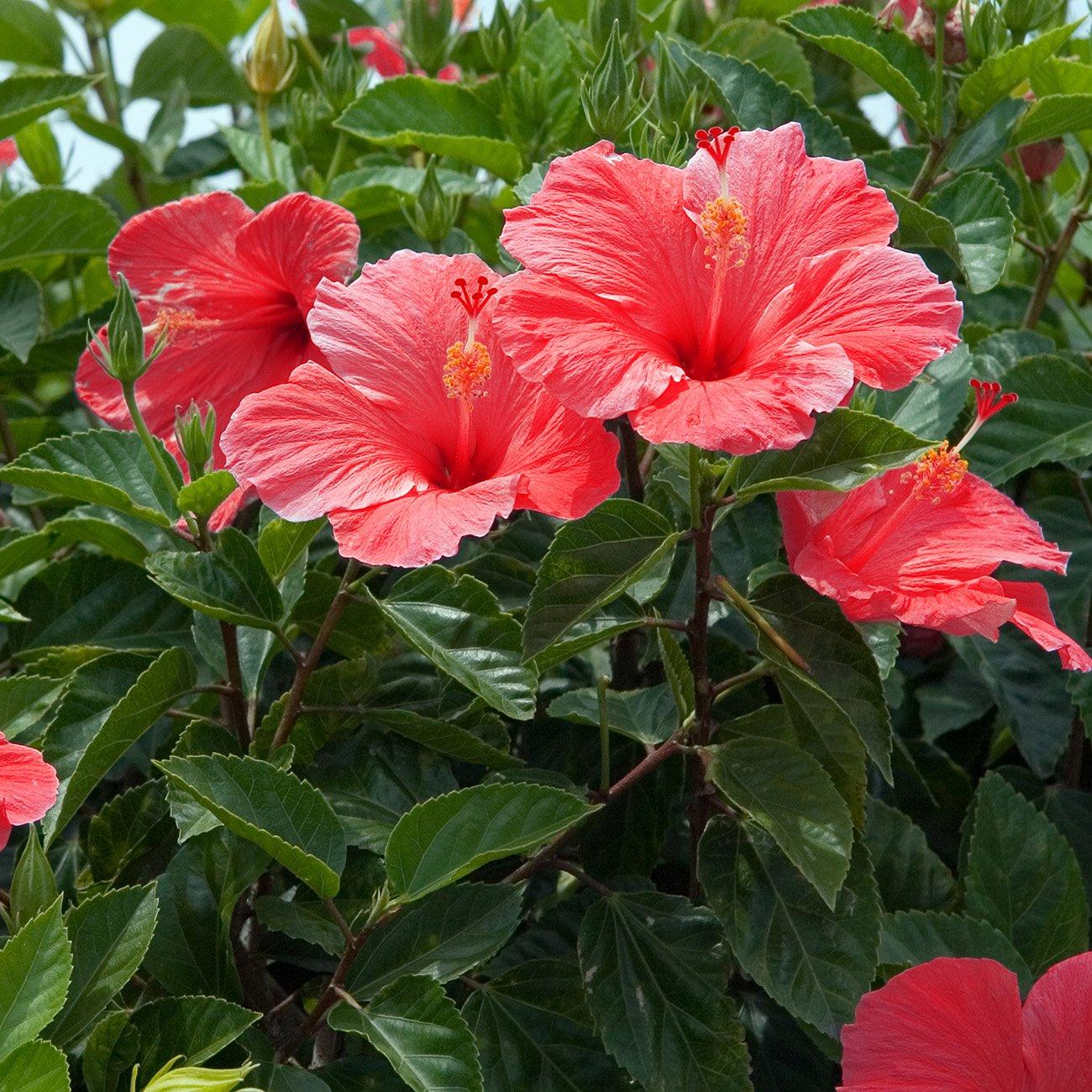 Amazon van zyverden hibiscus s lucy red flower bulbs garden amazon van zyverden hibiscus s lucy red flower bulbs garden outdoor izmirmasajfo
