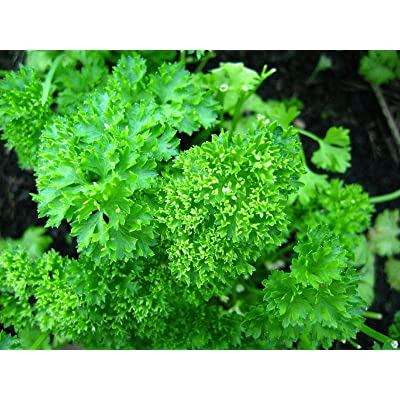 Cutdek Herb, 32 Varieties Medicinal and Spice Seeds Parsley 50 Seed : Garden & Outdoor