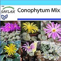 SAFLAX - Set regalo - Conophytum Mix - 40 semillas - Con caja regalo/envío, etiqueta para envío, tarjeta de felicitación…