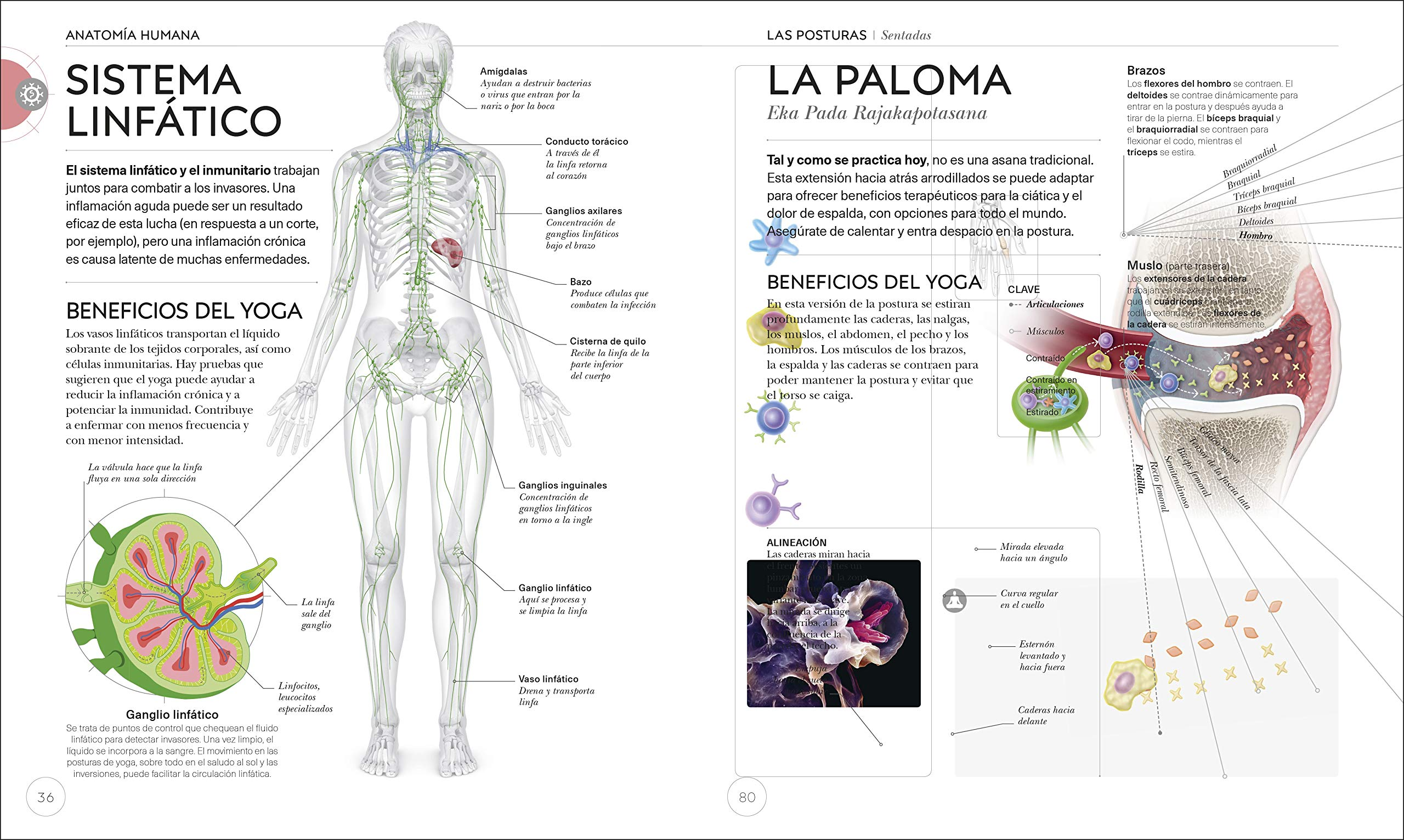 Amazon.com: Anatomía del Yoga (Science of Yoga): Un estudio ...