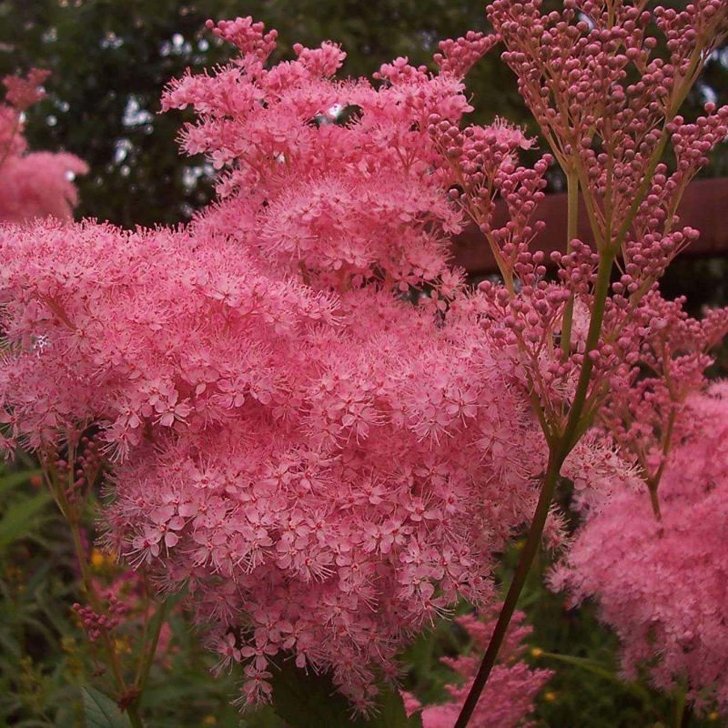 Queen Of The Prairie Filipendula Rubra 10 Seeds Amazon Co Uk Garden Outdoors