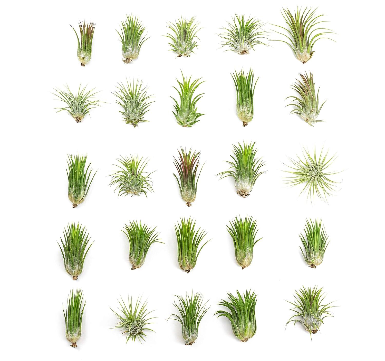 Tillandsia Ionantha Air Plants (25 Pack) | 2 to 3.5 Inches Each | Large Live House Plants for Home Decor | Air Plant Holder or Air Plant Hanger | Indoor Plants for Terrarium Kit by Aquatic Arts