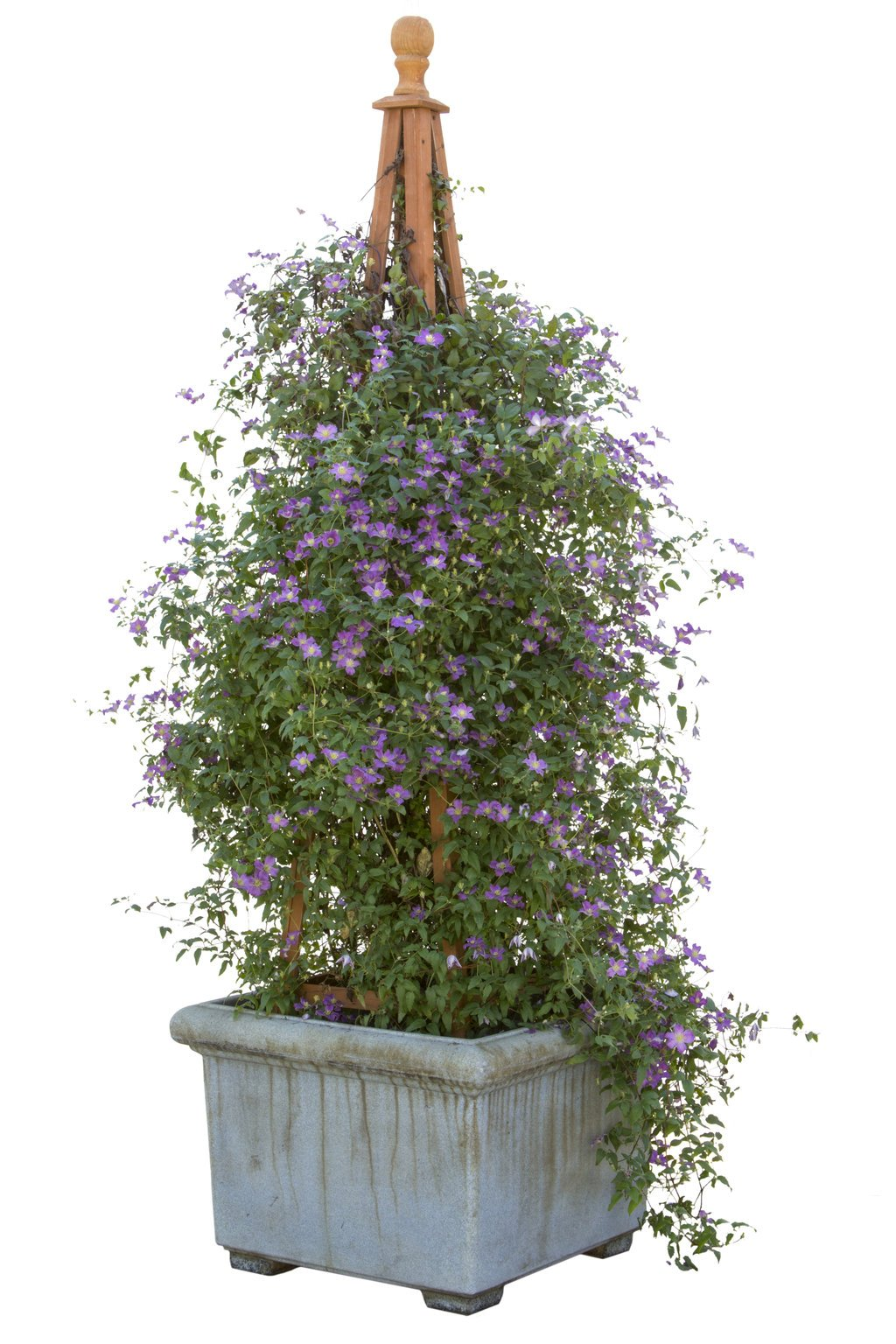 Happy Jack Purple (Clematis) Live Shrub, Purple Flowers,1 Gallon by Proven Winners (Image #7)
