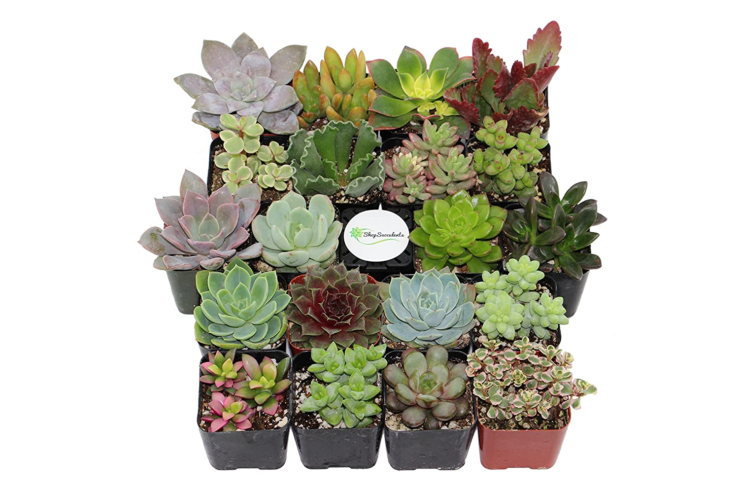 succulents deal of the day