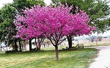 Amazon Com Redbud Eastern Tree 20 Seeds 50 Off Sale