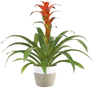 Costa Farms Live Indoor Blooming Bromeliad in White-Natural Decor Planter, 20-Inches Tall Grower's Choice
