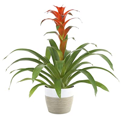 Costa Farms Live Indoor Blooming Bromeliad in White-Natural Decor Planter