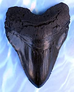 Massive 6-Inch Megalodon Shark Tooth, with serrations(Replica)