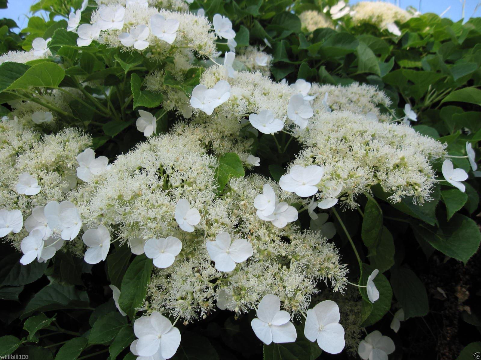 Climbing Hydrangea Seeds (HYDRANGEA anomala Petiolaris) Vine/Climber,Groundcover 300 seed