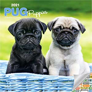 Pug Puppies Calendar 2021 Bundle - Deluxe 2021 Pug Puppies Wall Calendar with Over 100 Calendar Stickers (Dog Lover Gifts, Office Supplies)