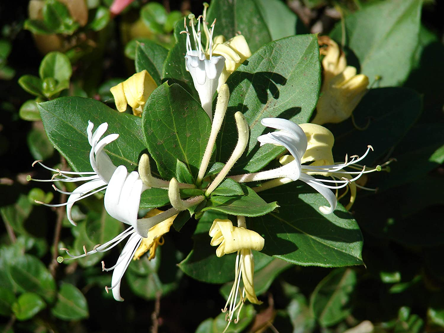 Picture of Live Japanese Honeysuckle aka Lonicera jap. 'Purpurea' Plant Fit 5 Gallon Pot