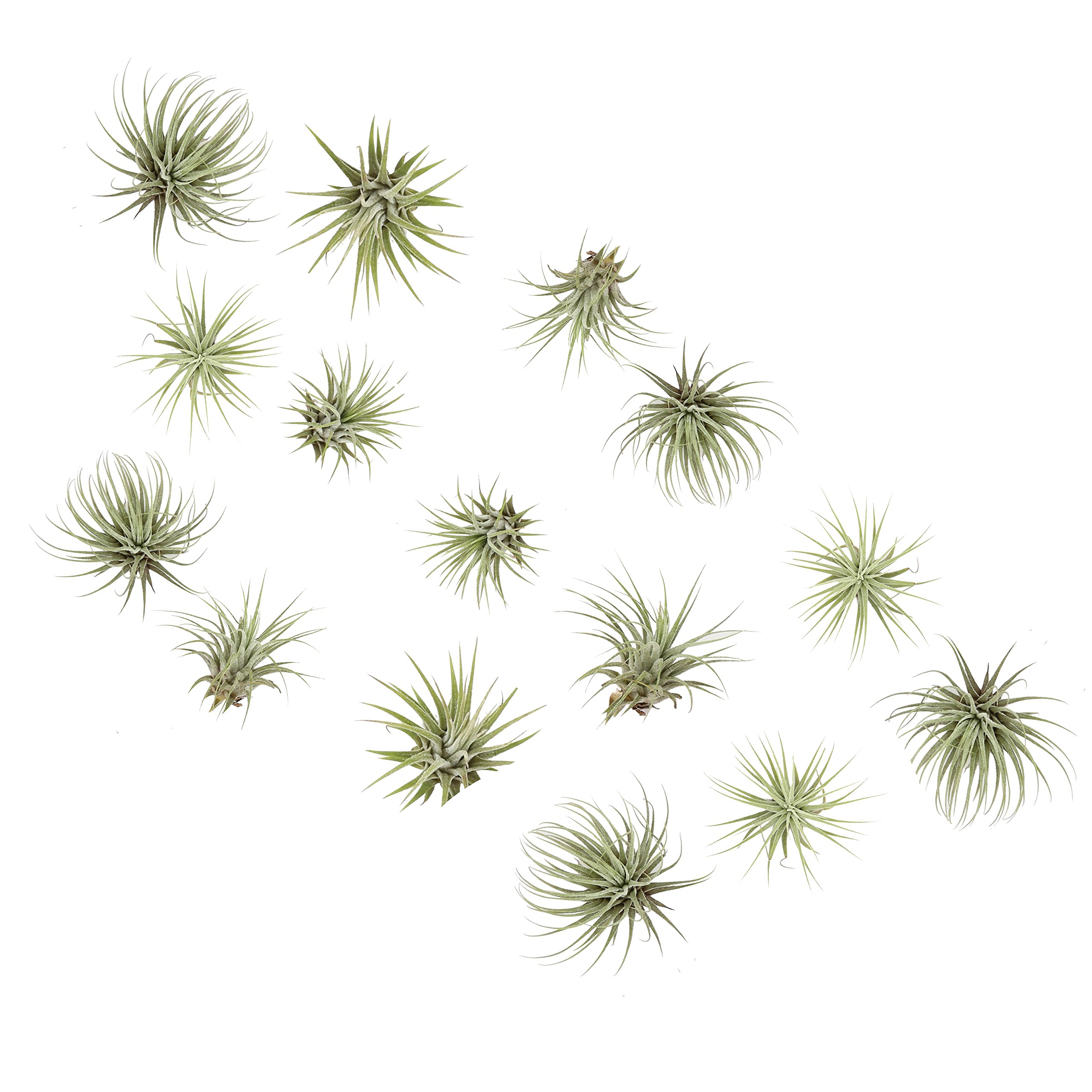 Costa Farms Live Air Plants, Tillandsia Ionantha, Medium, 15-Pack