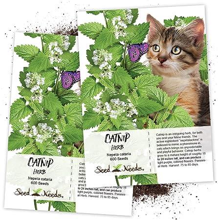 Amazon Com Seed Needs Catnip Herb Nepeta Cataria Twin Pack Of