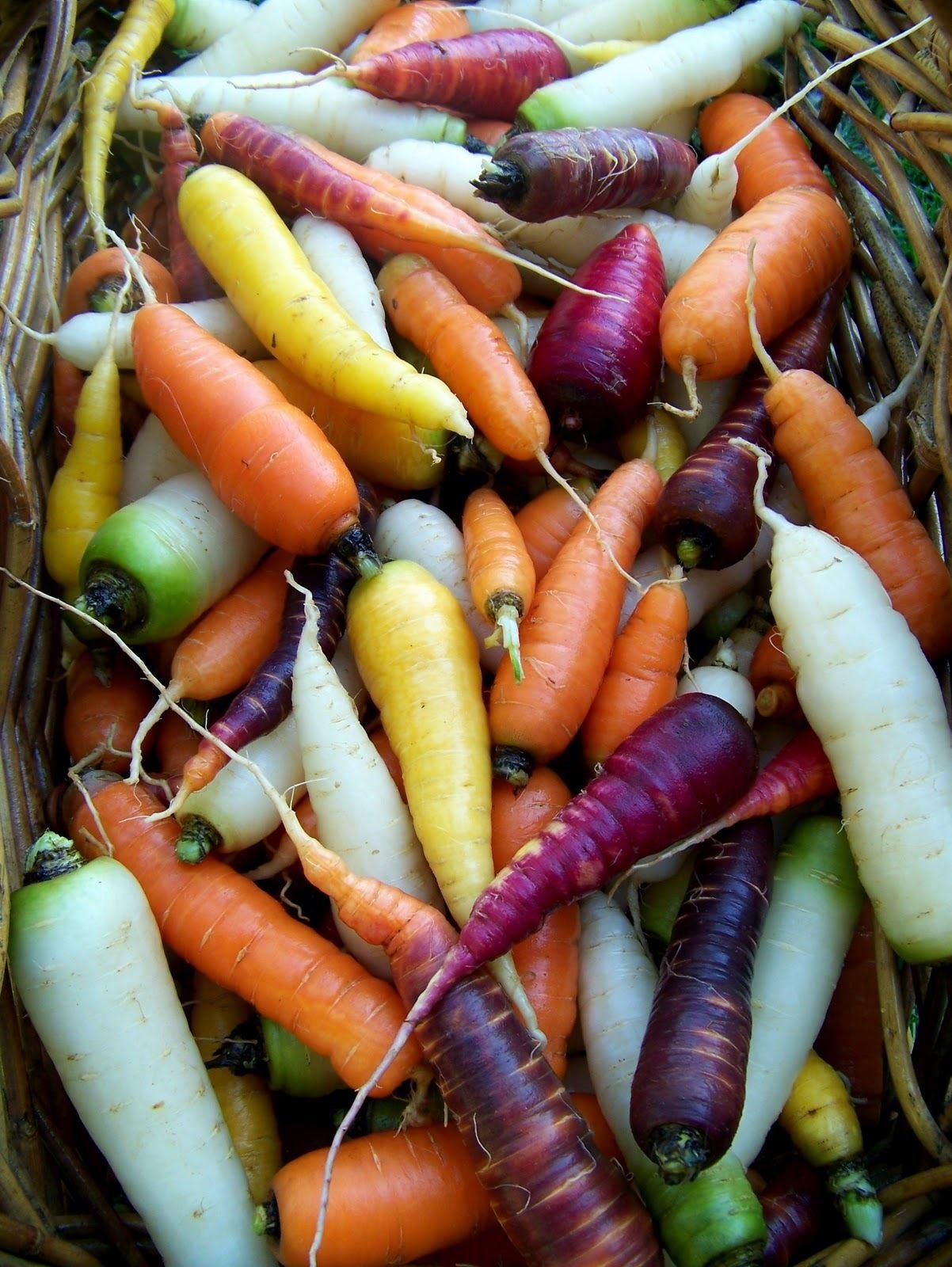 Rainbow Blend Carrot 1/2 LB seeds Super Sale on Heirlooms