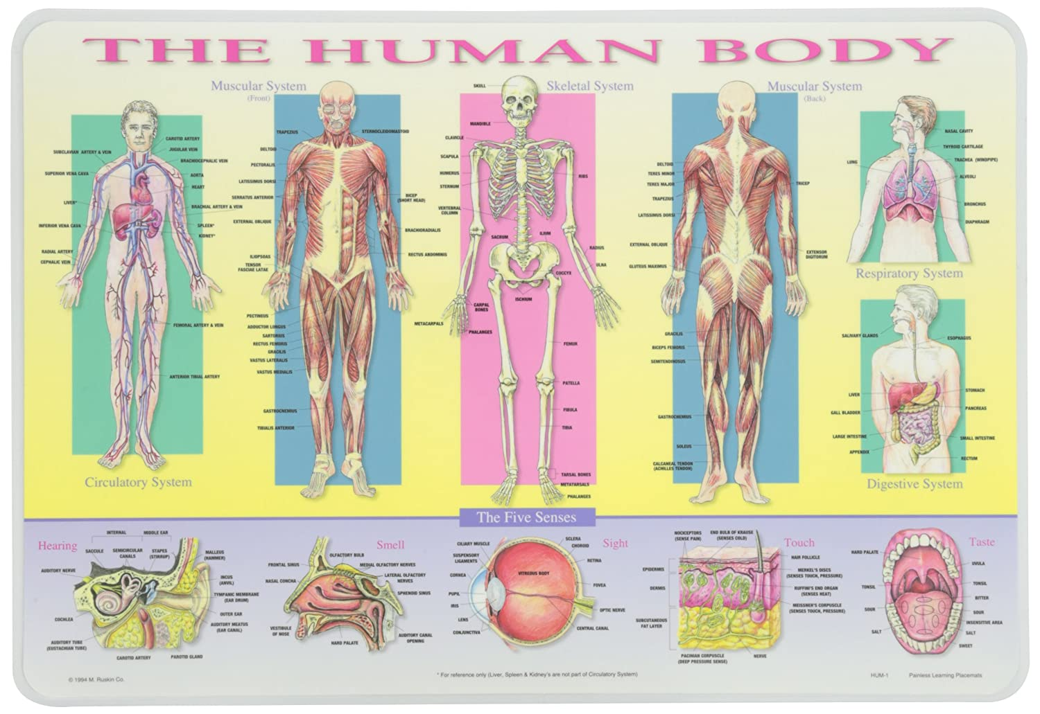 Amazon.com: Painless Learning Human Body Placemat: Home & Kitchen